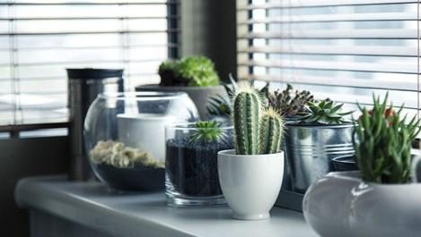 Как се размножават кактуси