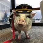 Терапия срещу страх от летене: Прасе успокоява пътници (Снимки+видео)