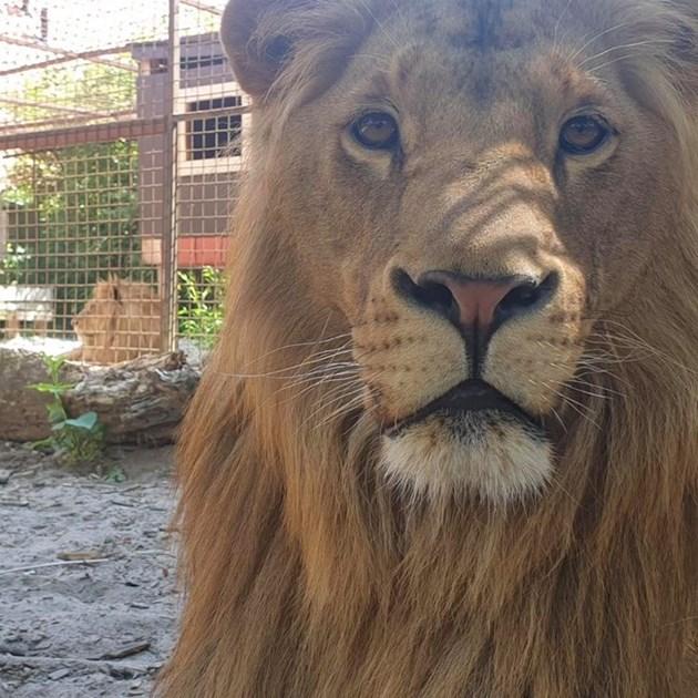 Лъвът Терез се подобрява