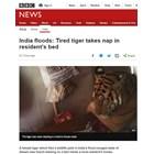 Тигрица избяга от наводнение в резерват в Индия, откриха я в леглото на местен