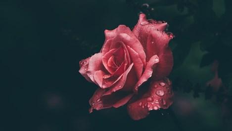 Рецепти с розова вода за разкрасяване на лицето