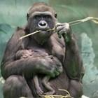 Горила нападна служителка в мадридския зоопарк