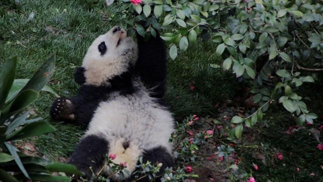 Бебета панди щуреят в китайски развъдник (Снимки)