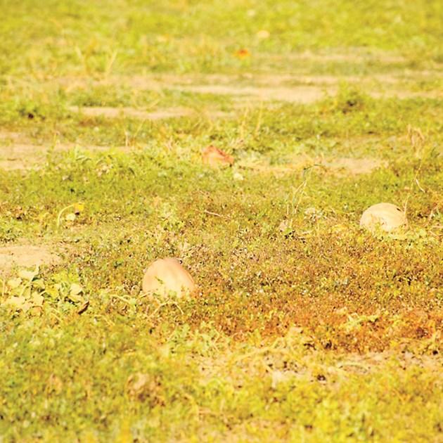 Няколко хиляди декара са площите с пъпеши в землището на с. Левка. За да запази сладостта си плодът изисква много слънчеви дни и определено количество вода, което може да се контролира с напояване.