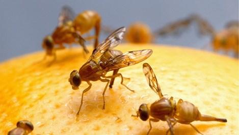 5 начина за бързо отърваване от плодовите мухи