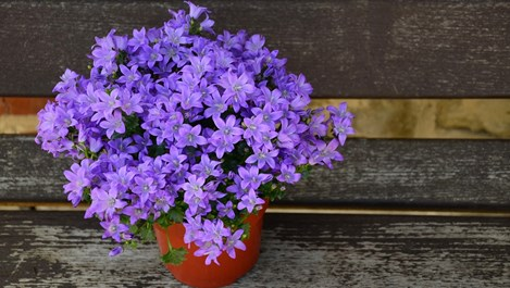 Кои цветя зимуват на балкона
