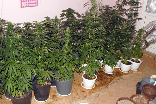 Научни изследвания сочат, че извлекът от марихуана облекчава заболявания