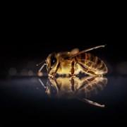 Учени откриха в Австралия пчели, които работят нощна смяна