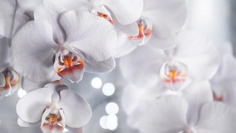 Следвайте тези правила и орхидеите ще цъфтят през цялата година