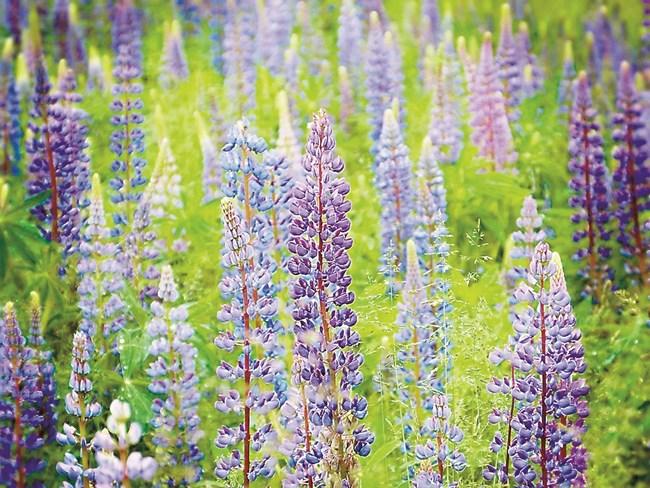 Лупината е не само много красива, но и подходяща култура за обогатяване на почвата с органични вещества