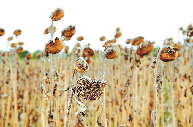 Слънчогледовата пепел е сред най-полезните за обогатяване на почвата