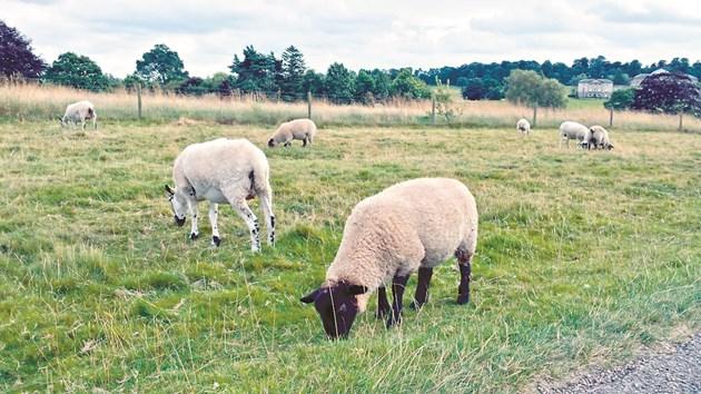При създаването на ново пасище засяването на треви, както и на всяка фуражна култура, трябва да се започне, след като полето изсъхне