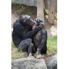 Шимпанзета се разнежват след гледане на филми заедно