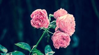 5 съвета за отглеждането на красиви рози