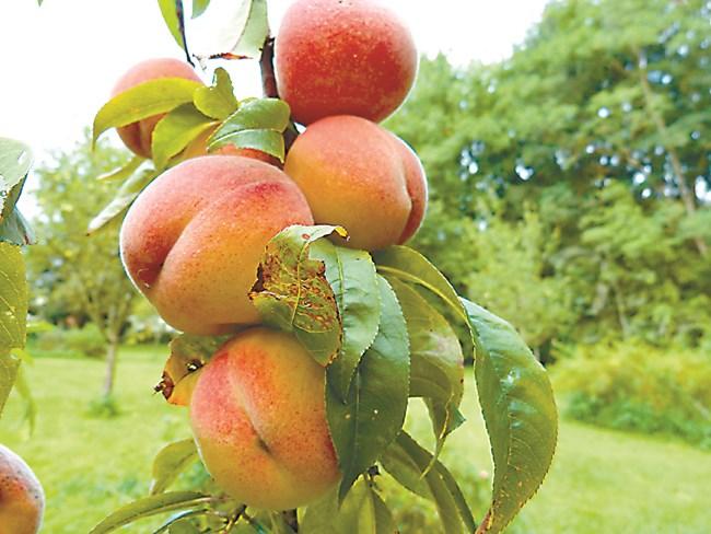 Прасковата реагира много бързо на недостиг на азот. Растежът на летораслите е слаб, формират се по-малко завръзи, тъй като повечето опадват. Получават се малко плодове.