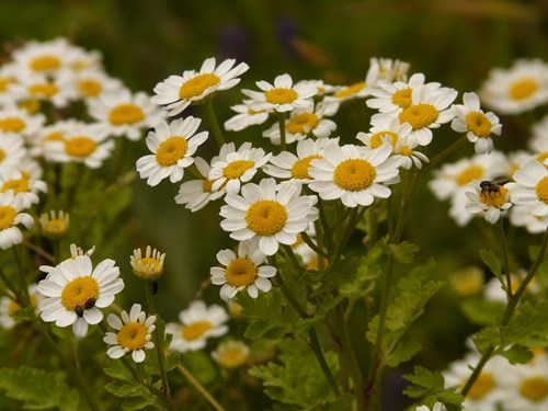 С цвете срещу главоболие и инсекти