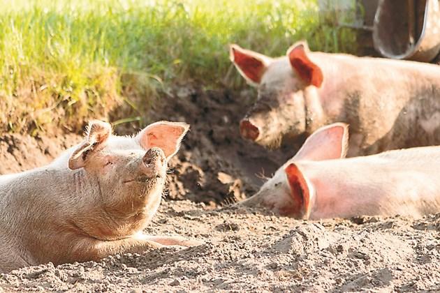 Свинете, хранени с гранулирани фуражи, ги оползотворяват със 7-8% по-добре в сравнение с негранулираните.