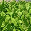 Тютюнопроизводителите получават 3 млн. лева подкрепа по схемата de minimis