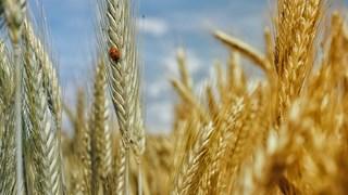 Ползите от покълналото жито (+рецепти)