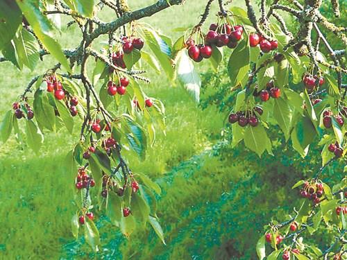 Черешите първи узряват в градината