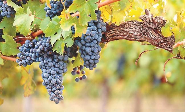 За да се опази гроздето, е важно да се спазят критичните фази на заболяванията