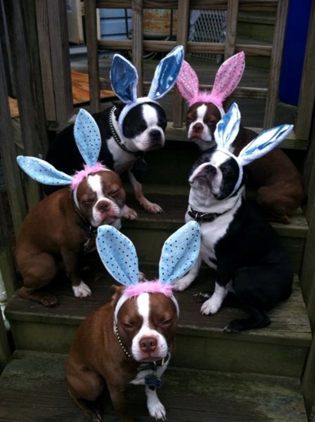 снимка: http://ibostonterrier.com/2013/04/slideshow-some-awesome-easter-boston-terrier-photos-sent-our-way/?pid=984