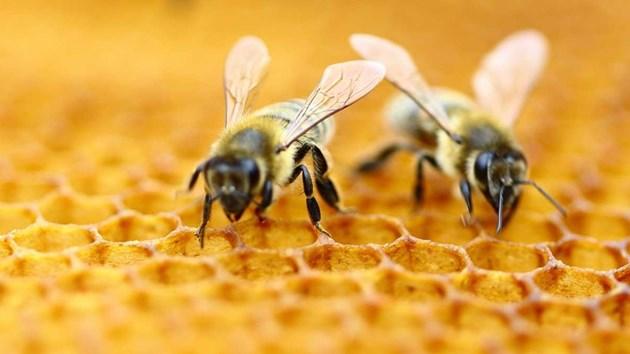 Оплождат пчели ин витро