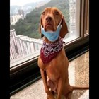 Стопанин научи кучето си да си слага маска срещу коронавируса (Видео)