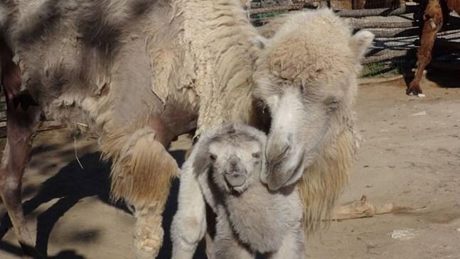 Бяло двугърбо камилче се роди във Варна (Снимки)