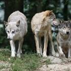 Вълци гонят туристи,плуват в ледени води