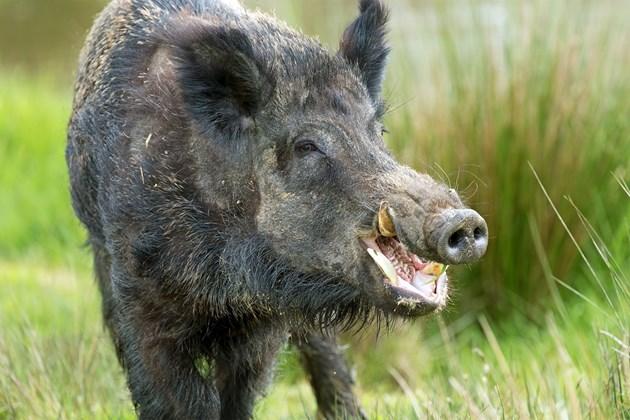 Ловците категорични: Глиганът от Перник болен от чума