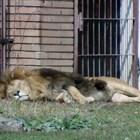 Започват да лекуват лъва Любо