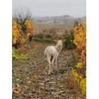 Бял елен в Подбалкана