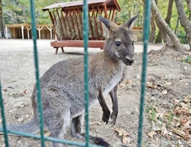 Избягалото кенгуру хрупа ябълки
