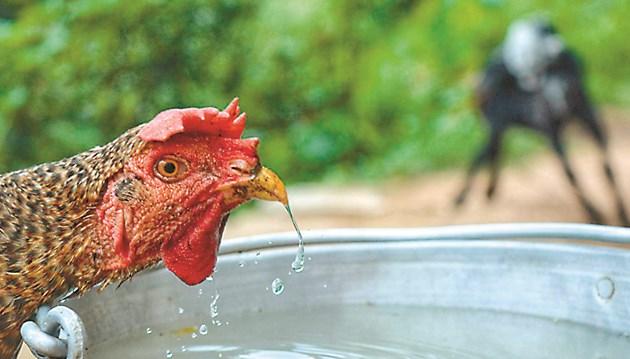 Осигурете прясна вода за пернатите в горещините