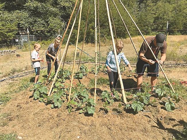 Посейте семена директно в добре обработена почва около обиколката на типито, освен пред входа. Отнема около два месеца, докато покрият цялата конструкция.