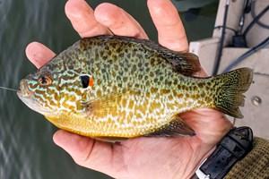 Слънчевите рибки стават и за ядене