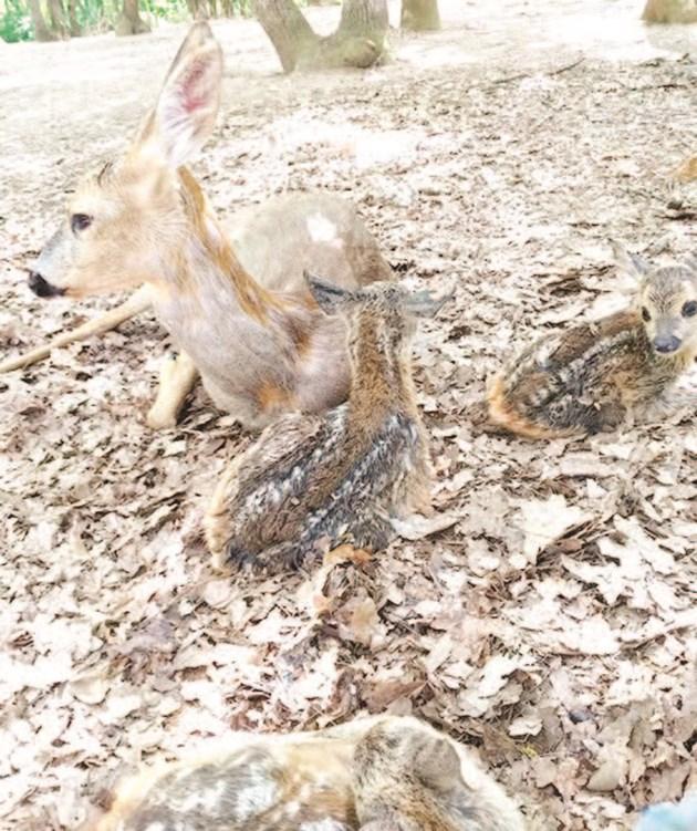 Сърната роди три малки