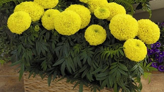 Най-непретенциозните летни цветя
