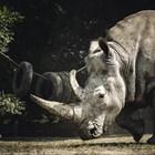 """Носорог """"налага"""" спазването на карантината в селище в Непал (Видео)"""