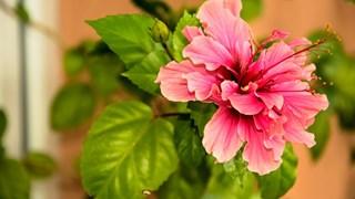 Как да се грижим за китайската роза