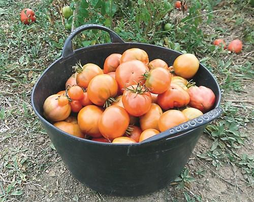 Берете домати - препаратите да са с къс карантинен срок