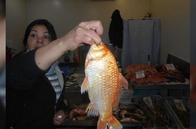 bce781c33c2 Златна рибка за Никулден - България Днес