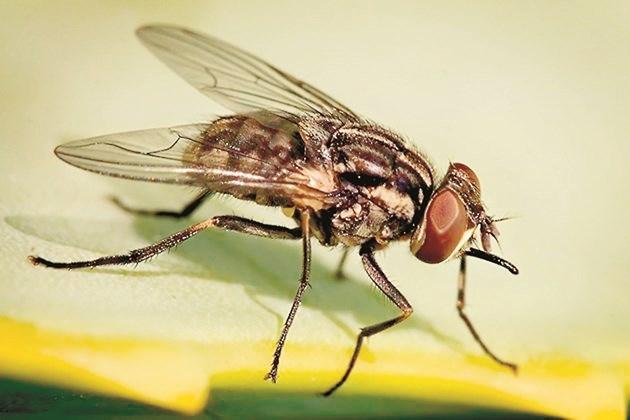 Stomoxys calcitrans е кръвосмучеща муха - важен преносител на опасни за хора и животни заболявания