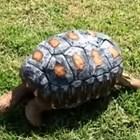 3D принтер печата нова коруба на овъглена костенурка