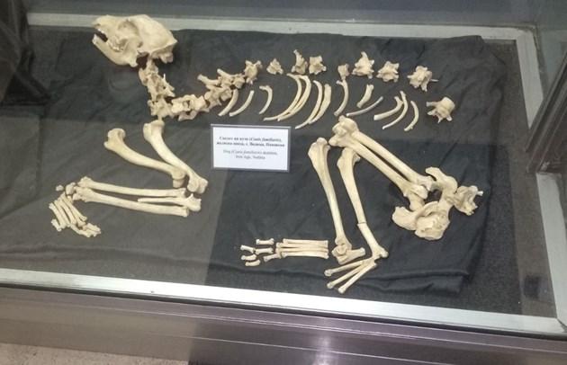 Скелетът на куче от с. Водица  Снимки: Георги ИВАНОВ