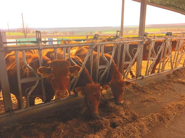 д-р Аднан Ефраимов обяснява, че кравите пристигат обезроговени