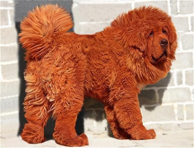 $ 1.6 млн. за  най-скъпото куче в света (галерия)