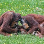 Разгадан е езикът на орангутаните