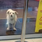 Предано куче чака дни наред стопанина си пред болницата (Видео)